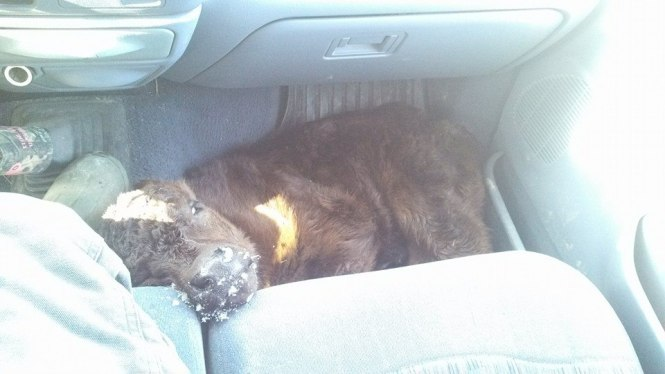 """First new baby of the year at my cousin's farm. He was born on the coldest day of the year, and he's getting """"warmed-up"""" on the floor of April's vehicle. Producers care about their livestock."""